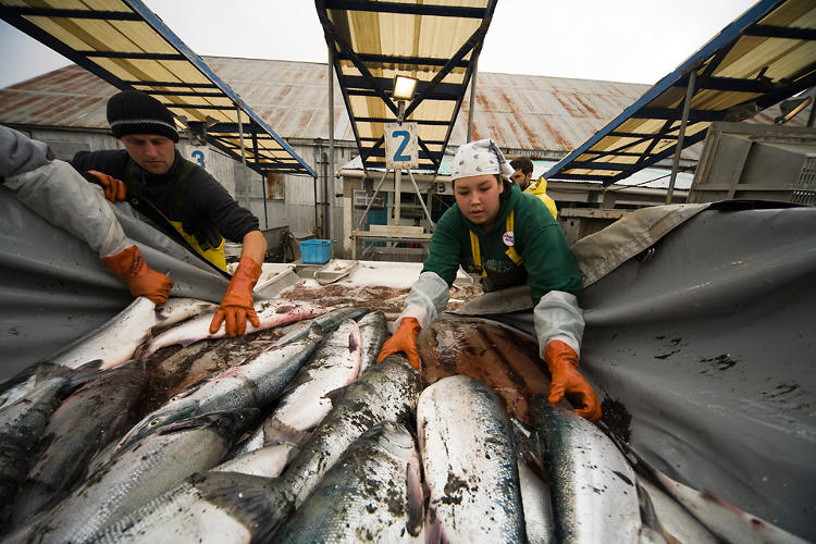 <p>Sockeye salmon are delivered by the setnetters to a fish-processing and canning plant in Ekuk in the Nushagak district of Bristol Bay, Bering Sea, Alaska.</p>