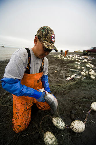 <p>Commercial setnetters pick sockeye salmon from their setnets at Ekuk in the Nushagak district Bristol Bay, Bering Sea, Alaska.</p>