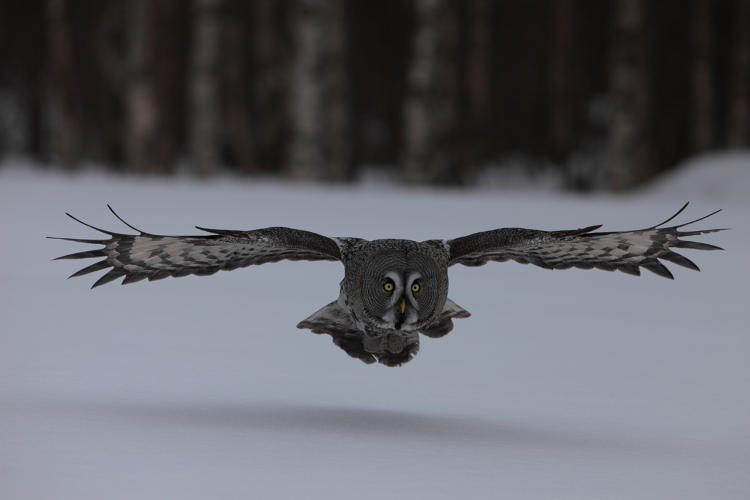 <p><strong>FLIGHT OF THE OWL.</strong>  The Great Grey Owl is one of the largest owls in the world. Cameraman Barrie Britton used a super hi-speed Phantom camera to capture a slowed down image of the owl in flight. Britton was there to film Black Grouse lekking (courting), but instead came across this stunning wild owl. He worked out its daily flight path in its search for prey - its hearing can detect voles (meadow mice) moving under even three feet of snow. The result was this amazing head-on shot.</p>