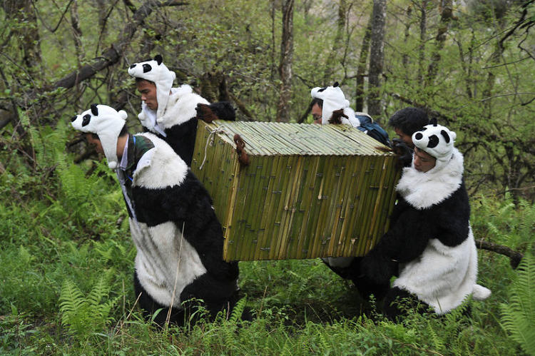 <p>In order to transport Giant Pandas back into their natural habitat at the Wolong National Nature Reserve in Wolong, some workers wear panda costumes and therefore fit right in, on May 3, 2012.</p>