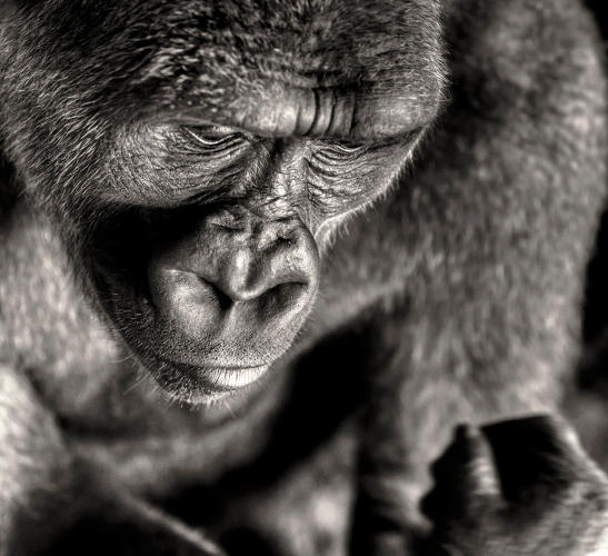 <p>An ape contemplates where it all went wrong--or perhaps he or she is just hungry? In any case, this is a look of deep solemnity.</p>