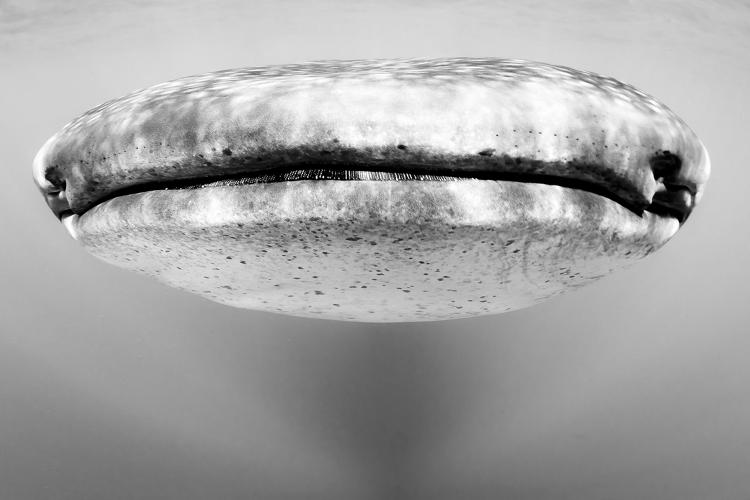 <p>A whale shark seen up close challenges our perception of scale--and sharks.</p>