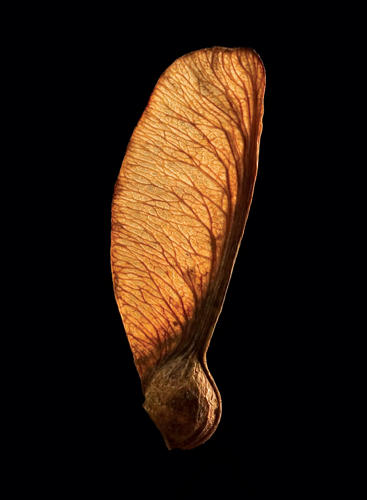 <p>A Sycamore drop, another common seed, looks as delicate as an insect wing under the SEM.</p>