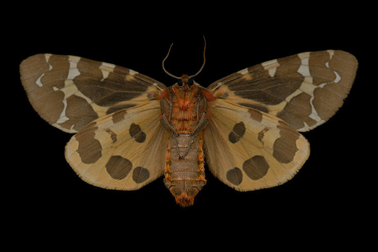 <p>He then identifies each of the digitized moths with the help of his dog-eared copies of <em>Papillons du Quebec</em> and <em>A Field Guide to Moths of Eastern North America</em>.</p>