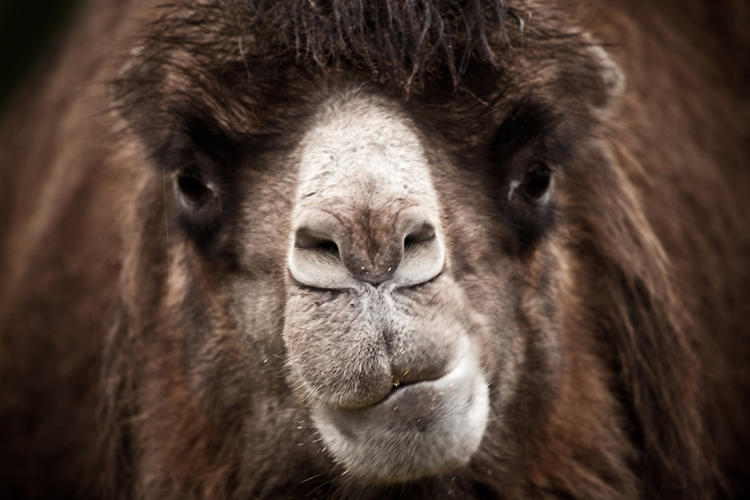 <p>The nasal surfaces of camels help conserve water by using hygroscopic properties to remove water from air during exhalation. Photo by Flickr user <a href=&quot;http://www.flickr.com/photos/paperpariah/4150220583/&quot; target=&quot;_blank&quot;>Adam Foster | Codefor</a>.</p>