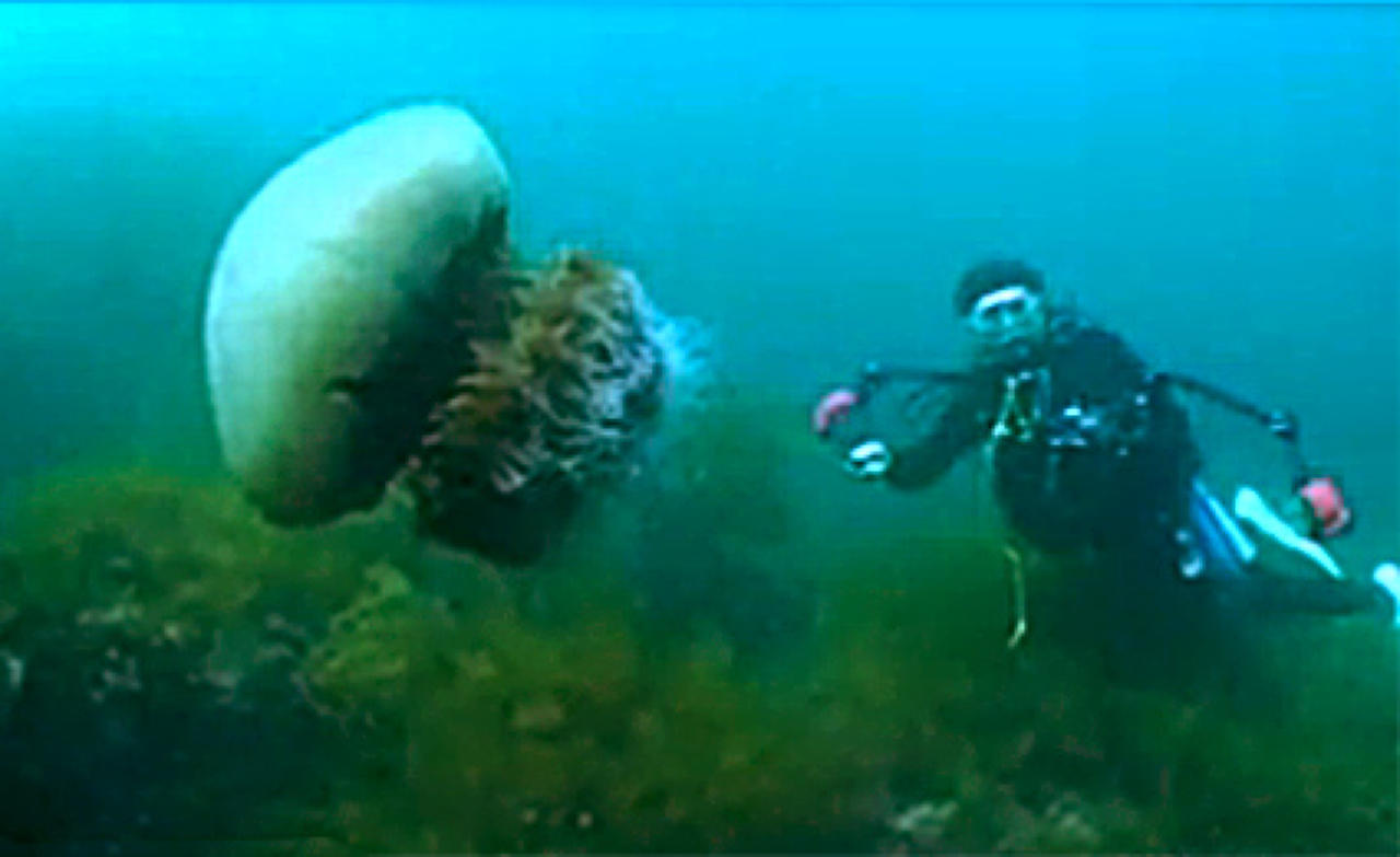 Japanese Fight Giant Jellyfish Invasion With Jellyfish ...