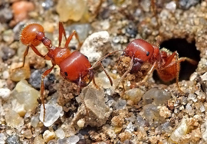 <p>When ants seek out food, each individual ant leaves chemical signals marking its path from the nest to the sustenance. As more and more ants go out foraging, closer sources and more efficient pathways to those spots are more clearly marked by an aggregation of signals, while less optimal routes literally fade away. Computer scientists are <a href=&quot;http://www.nature.com/scitable/blog/student-voices/of_biomimicry_and_learning_from&quot;>improving vehicle routing for delivering everything from parcels to gasoline using a similar algorithm based on this ant colony optimization</a>. Virtual ants travel various paths involving multiple stops until an ideal tack rises above the others.</p><p>Image: <a href=&quot;http://www.flickr.com/photos/tomfs/4485529624/sizes/l/in/photostream/&quot; target=&quot;_blank&quot;>tomfs</a> </p>