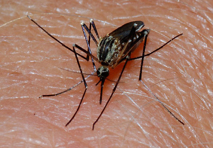 "<p>Recently, Indian and Japanese researchers announced the development of a <a href=&quot;http://www.newscientist.com/article/dn14348?DCMP=ILC-hmts&amp;nsref=news5_head_dn14348&quot;>titanium hypodermic needle based on a mosquito's proboscis</a>, the appendage it uses to extract blood from us when it ""bites."" The tiny, tubular organ actually has three prongs, spreading out its interaction with our nerves and allowing the bugs to feast undetected. A three-pronged needle based on the humble mosquito's could lead to less painful injections--a development that kids all over the world can get behind.</p><p>Image: <a href=&quot;http://www.flickr.com/photos/agder/2783124139/sizes/z/in/photostream/&quot; target=&quot;_blank&quot;>dr_relling</a><p>"
