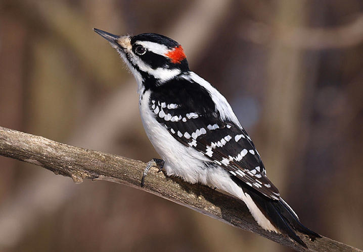 <p>When a woodpecker slams its beak into a tree, it does so with a force that would have most humans seeing stars. But the bird is unfazed, thanks to a four-part shock absorption system that starts with fluid between its brain and skull and ends with slightly elastic bone in its beak. By approximating all four parts with man-made materials, engineers have <a href=&quot;http://www.newscientist.com/article/dn20088-woodpeckers-head-inspires-shock-absorbers.html?DCMP=OTC-rss&amp;nsref=online-news&quot; target=&quot;_blank&quot;>developed a shock absorption system</a> that can protect gadgets, airplane black boxes, and might even be useful in high acceleration pursuits such as race car-driving or space flight.</p><p> Image: <a href=&quot;http://www.flickr.com/photos/ericbegin/4411816261/sizes/l/in/photostream/&quot; target=&quot;_blank&quot;>Eric Begin</a> </p>