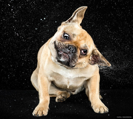 <p>French Bulldog</p>