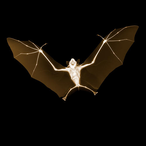 <p>Veasey says one favorite image is the scary bat, whose fangs, tiny ribcage, and paper-thin wings are starkly exposed in the photograph. &quot;I bought it on eBay. You just search fruit bat, and it comes in the mail,&quot; he tells Co.Design. It was a &quot;just add water&quot; process--the bat came dried in a Tupperware, but adding moisture reversed the rigor Mortis and allowed Veasey to pose it for its glamor shot.</p>