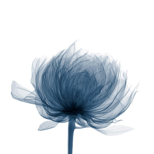 <p>A ghostly X-rayed impression of a flower.</p>