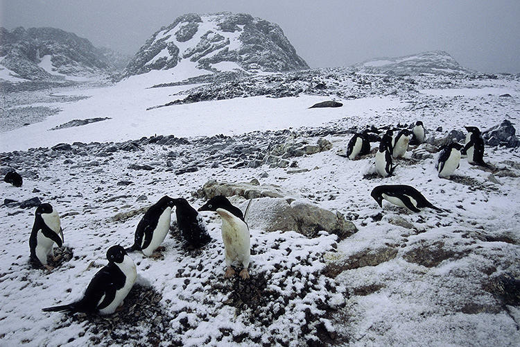<p>This part of the Antarctic peninsula has experienced a high degree of climate warming causing an increase in snowfall. The Adelie penguins find it difficult to nest in the snow and most have most southward to better nesting sites.</p>