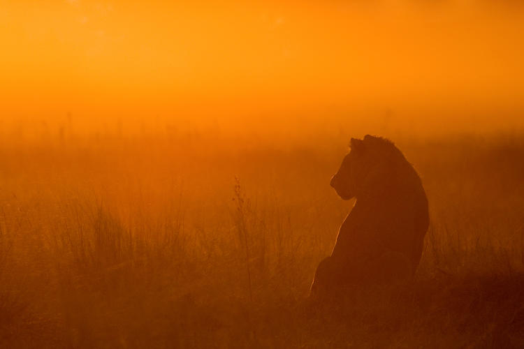 <p>An adolescent male lion sits in the grasslands of the Okavango Delta in Botswana at sunset.</p>