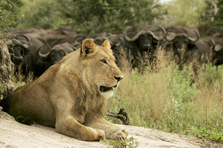 <p>Adolescent male lion lays on the ground near a restless buffalo herd who are agitated by his presence. He has been attempting to hunt but hasn't perfected his skills. This was taken in the Okavango Delta in Botswana.</p>