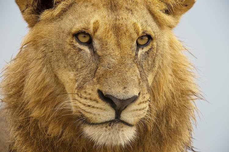 <p>A portrait shot of a young sub adult male lion (Panthera Leo) around three years old at Duba plains in the Okavango Delta in Botswana.</p>