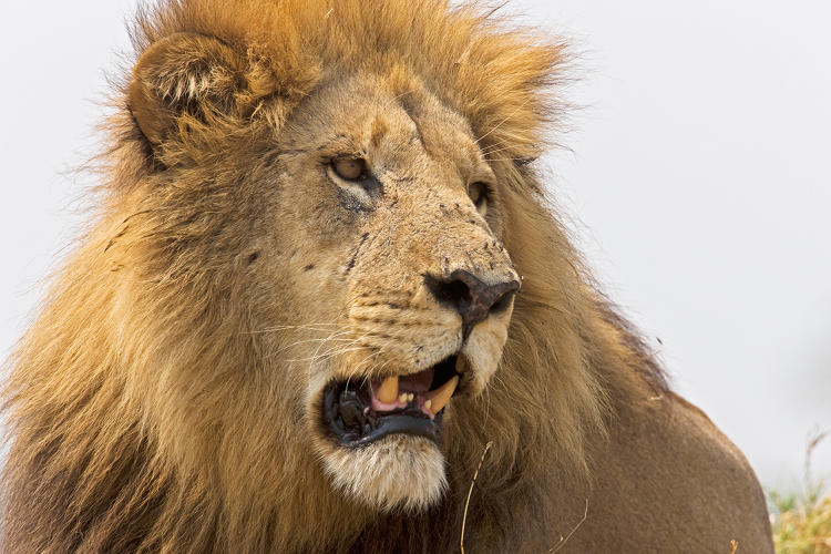 <p>A mature male lion surveys his territory in Duba Plains in the Okavango Delta in Botswana.</p>