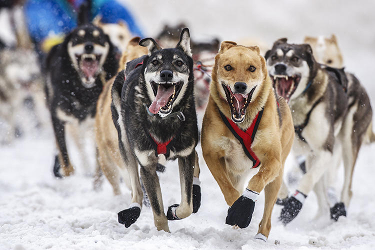 <p>Jeff Schultz has what's possibly one of the world's funnest jobs: He's been the Iditarod Sled Dog Race's official photographer since 1982.</p>