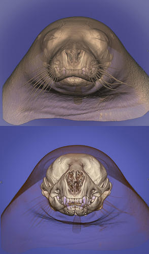 <p>A computed tomography scan of a seal's head, created with a 3-D volume rendering technique, which makes the skeleton appear opaque and the soft tissues semi-translucent, revealing the skull.</p>