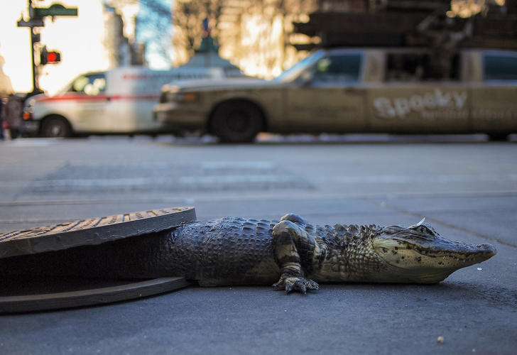 <p>&quot;The pavement is a thin veneer of civilization,&quot; writes Chris Farling. &quot;When I encountered this realistic facsimile of an alligator seemingly emerging from under a manhole cover. Though I had always been highly skeptical of the legend, my familiarity with it is probably what made it actually more believable at first glance, like I was primed to see the alligator as real. The subconscious mind is ever gullible no matter how carefully we layer logic on top of it.&quot;</p>