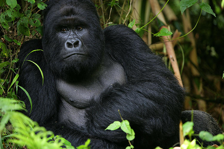 <p>BUKIMA, VIRUNGA NATIONAL PARK, EASTERN CONGO - JULY 23, 2007: Congolese conservation rangers worked in conjunction with conservation group Wildlife Direct in dangerous circumstances to protect the remaining endangered Mountain Gorillas in the area.</p>