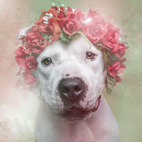 <p>But they probably don't look like any pit bull photo you've ever seen before.</p>
