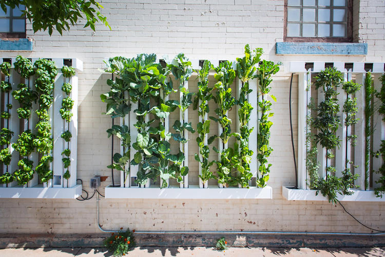 <p>Because the wall is self-watering, and the design eliminates weeds, the company calculates that it takes less time to maintain than an ordinary garden. Every five or six weeks, you can harvest around 40 pounds of greens.</p>