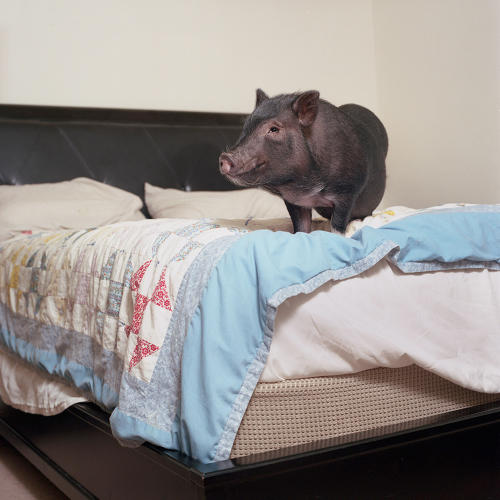 <p>Dozer (Pot-bellied pig)</p>