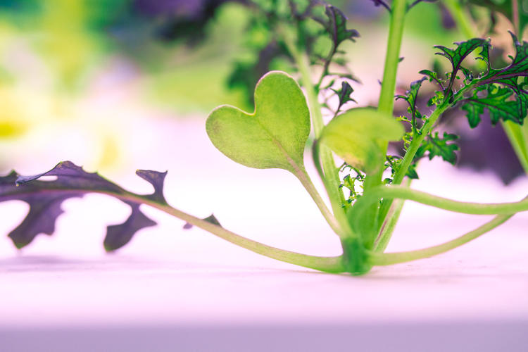 <p>Chefs can use an app to special order greens or herbs they can't get anywhere else, and the company will deliver the seeds and start to grow it.</p>