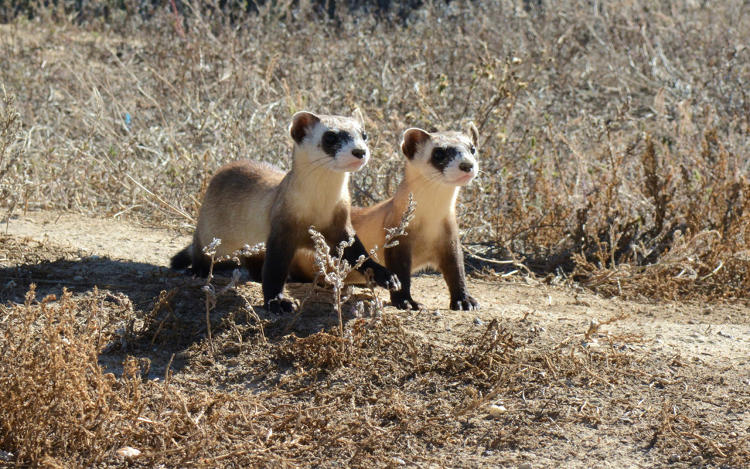 <p>Without the prairie dogs, the ferrets can't survive; the dogs are both a food source and a source of a burrow.</p>