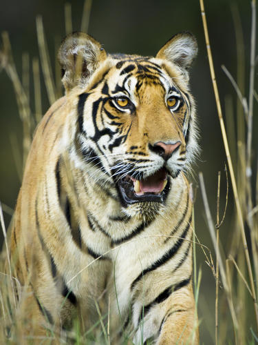 <p>Male Bengal tiger, India</p>