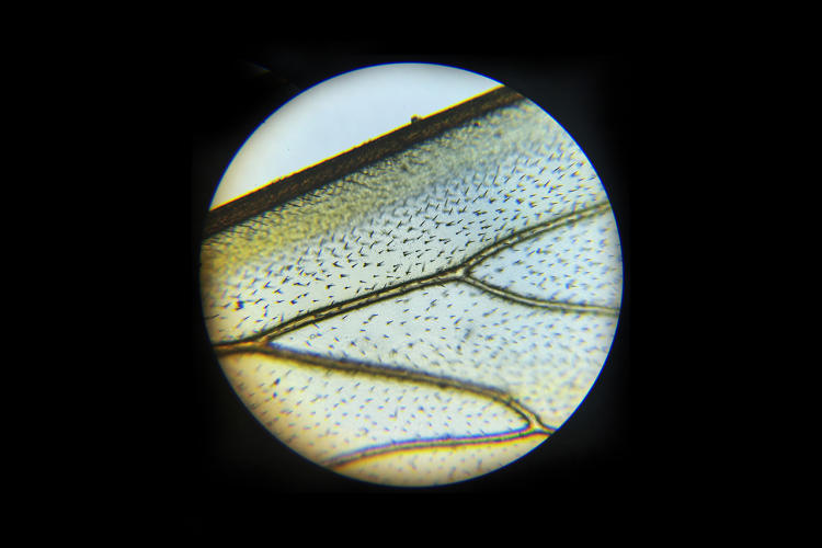<p>Optical microscope image of a honeybee wing</p>