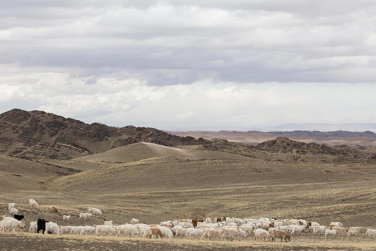 <p>Goat herders and their flock in the Gobi Desert.</p>