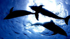 Dolphin Whistles Help Solve The Mysteries Of The Cosmos
