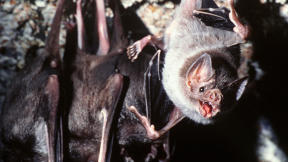 We Destroyed Their Habitat, So Brazilian Vampire Bats Have Started Drinking Our Blood