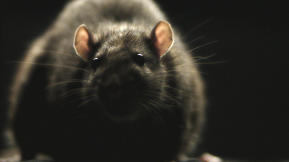 "Shock Doc: Yes, Morgan Spurlock's ""Rats"" Will Give You Nightmares"